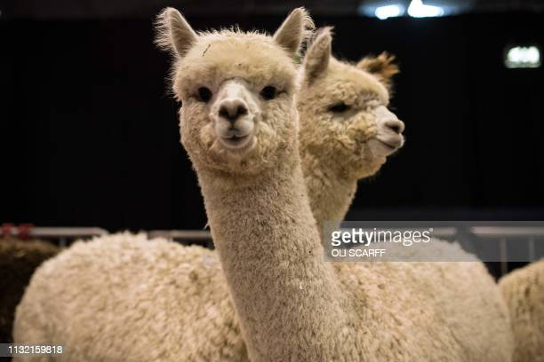 Alpacas wait in their pens before being judged at the British Alpaca Society National Show held at The International Centre in Telford central...