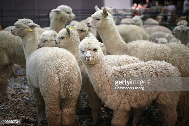 Alpacas wait to be judged at the British Alpaca Futurity Show being held at Stoneleigh Park Warwickshire on March 11 2011 in Coventry England The top...