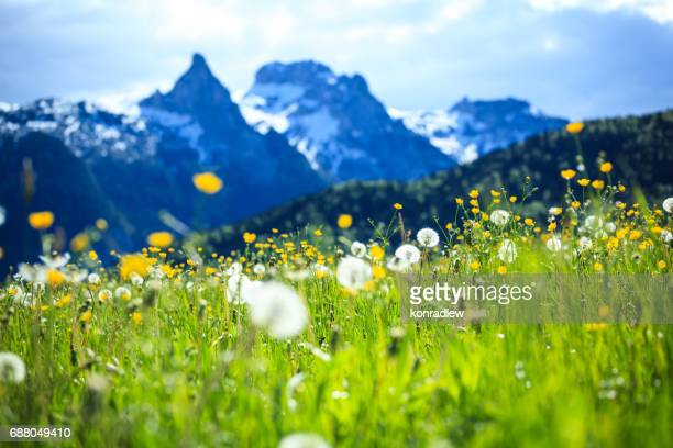 alpen landscape - green field meadow full of spring flowers - selective focus (for diffrent focus point check the other images in the series) - european alps stock photos and pictures