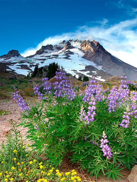 Alpenglow on Flowers and Mt. Hood