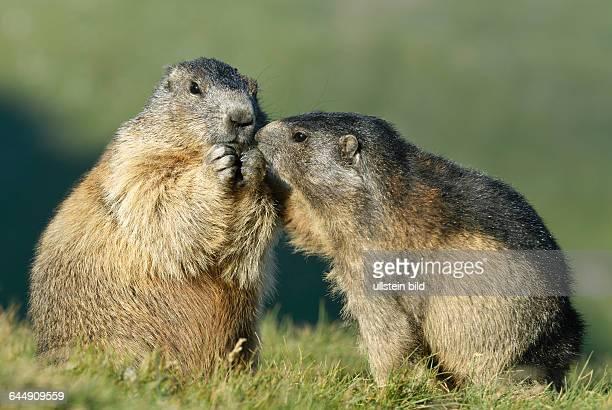 Alpenmurmeltier Marmota marmota im Nationalpark Hohe Tauern Heiligenblut Oesterreich