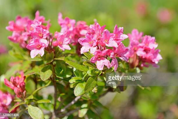 Alpenrose, Almrausch, rododendro Ferrugineum