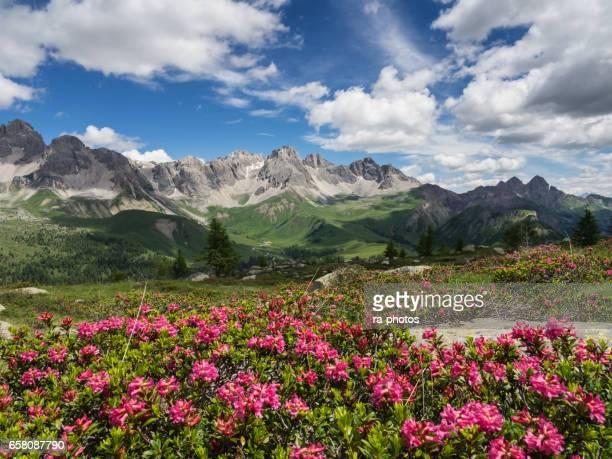 Flor de Alpenrose en los Alpes