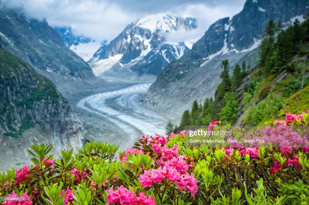 Alpenrose (Rhododendron ferrugineum) flowers over Mer de Glacier and Grandes Jorasses, Alps, France : Stock Photo