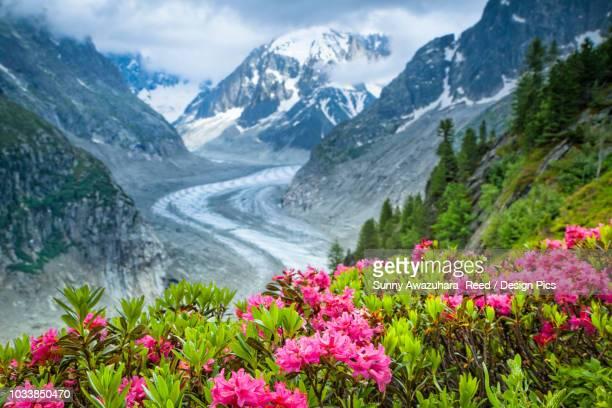 alpenrose (rhododendron ferrugineum) flowers over mer de glacier and grandes jorasses, alps, france - haute savoie fotografías e imágenes de stock