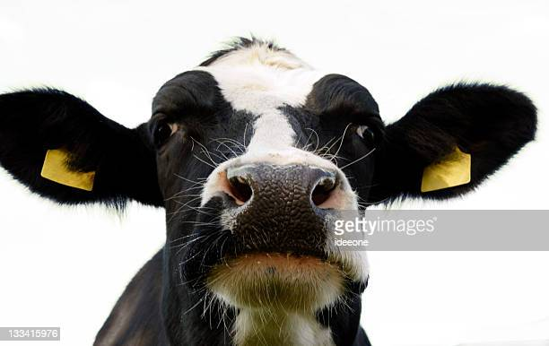 alpha bull - dairy cattle stock pictures, royalty-free photos & images