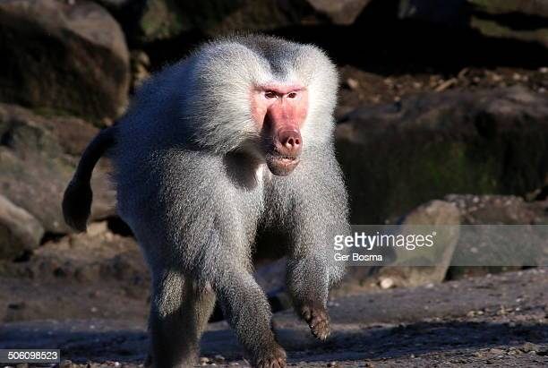 Alpha male hamadryas baboon