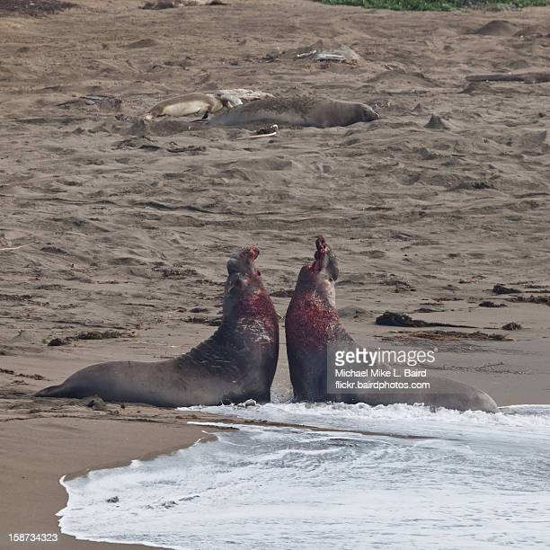 Alpha male Northern Elephant Seals in battle
