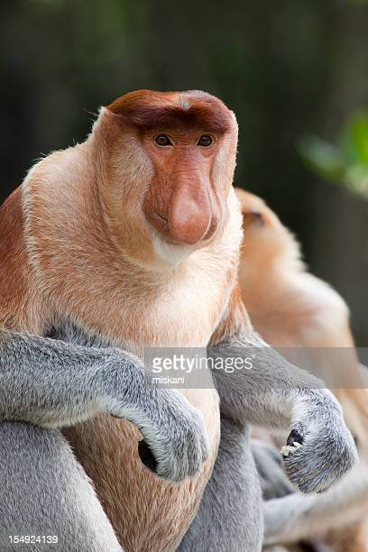 alpha male portrait - island of borneo stock pictures, royalty-free photos & images