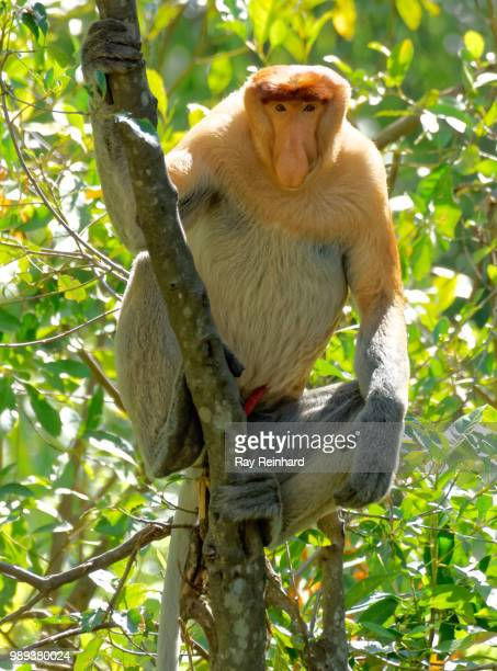 Alpha Male Proboscis Monkey in Tree