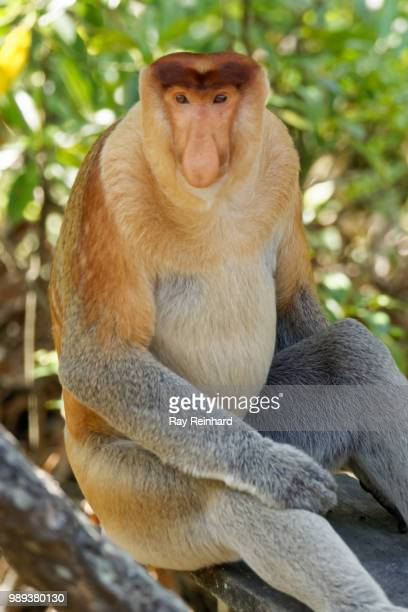 Alpha Male Proboscis Monkey