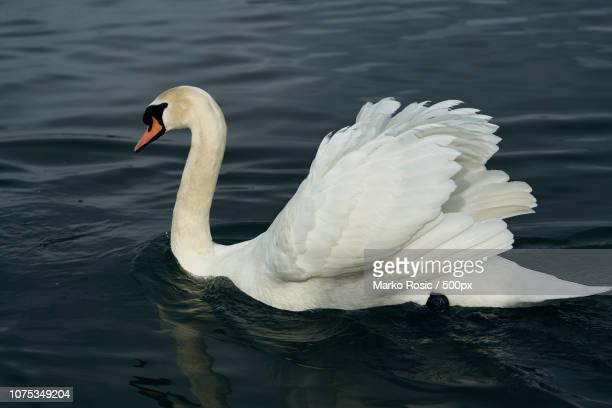 Alpha Male Swan