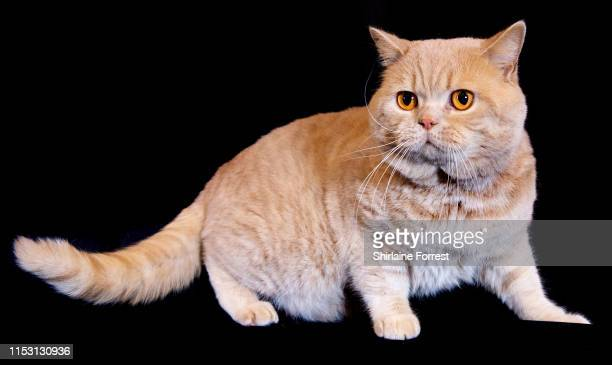 Alphabery Mr Delaney, a cream British Shorthair Cat poses for portraits at the Merseyside Cat Show at Sutton Leisure Centre on June 01, 2019 in St...