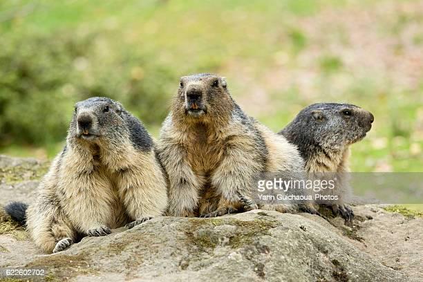 Alpin Marmots,Marmota Marmota, Hautes Pyrenees, Midi Pyrenees, France