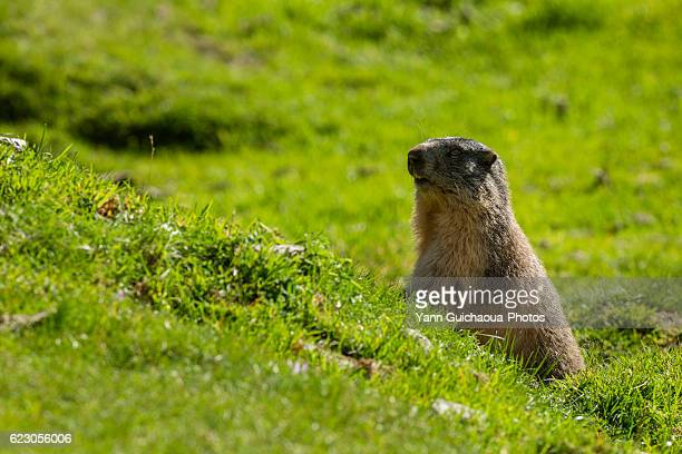 alpin marmot,the cirque of estaube, hautes pyrenees, france - hautes pyrenees stock pictures, royalty-free photos & images