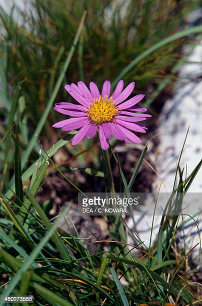 Alpine aster Asteraceae