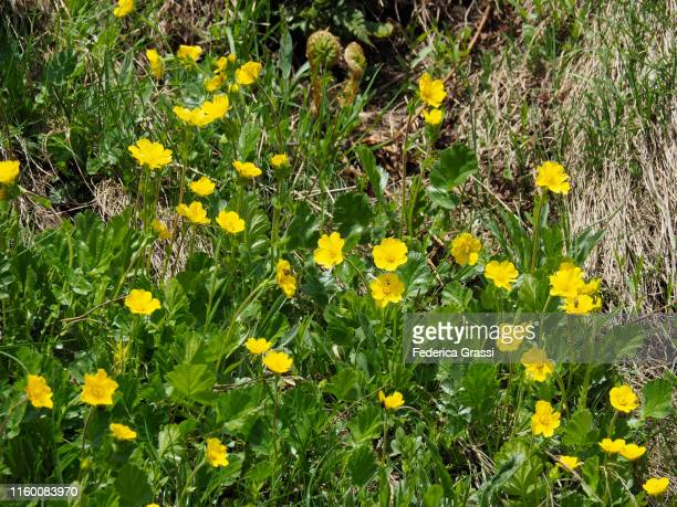 alpine avens (geum montanum) flowering at gotthard pass - buttercup stock pictures, royalty-free photos & images