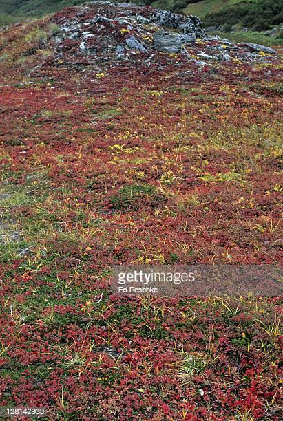 Alpine Bearberries (Arctostaphylos alpina), Bog Blueberries (Vaccinium uliginosum) and Crowberries (Empetrum nigrum) in autumn tundra, Denali National Park, Alaska, USA