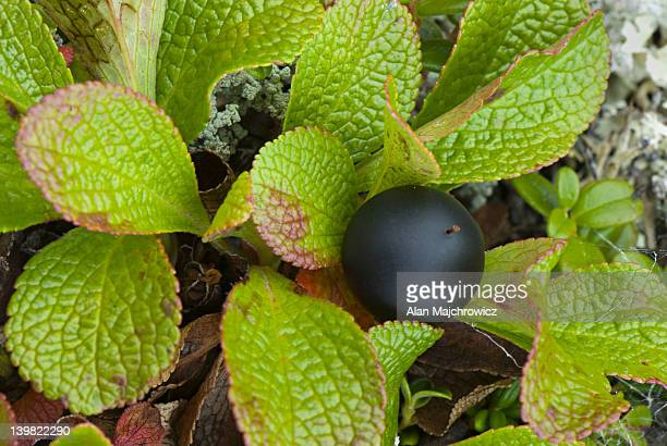 Alpine Bearberry, Arctostaphylos alpina