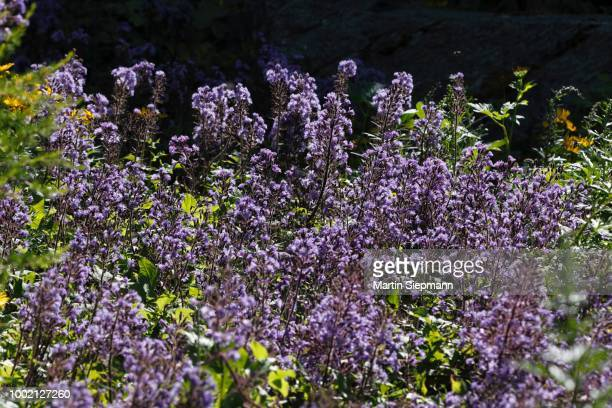 alpine blue-sow-thistle (cicerbita alpina), tyrol, austria - clima alpino foto e immagini stock