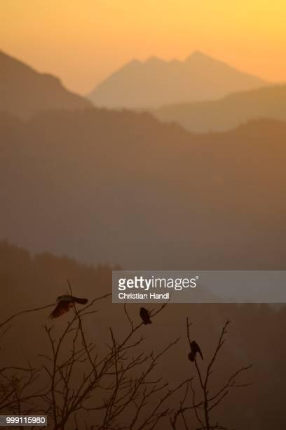 Alpine Choughs at sunrise, Stripsenjochhaus, Wilder Kaiser, Tyrol, Austria