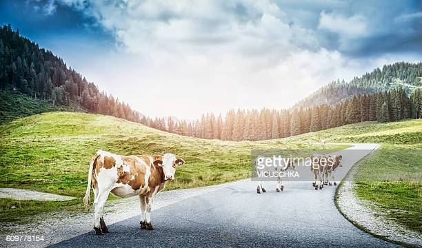 Alpine cow on the road between pasture at hills and mountains