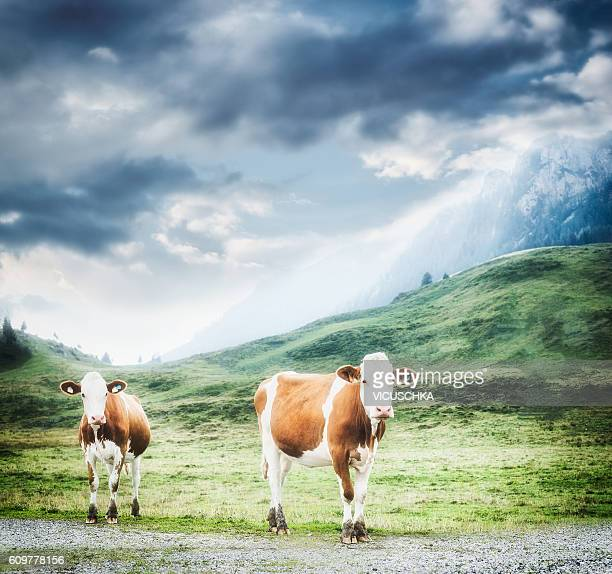 Alpine cows on pasture at hills and mountains