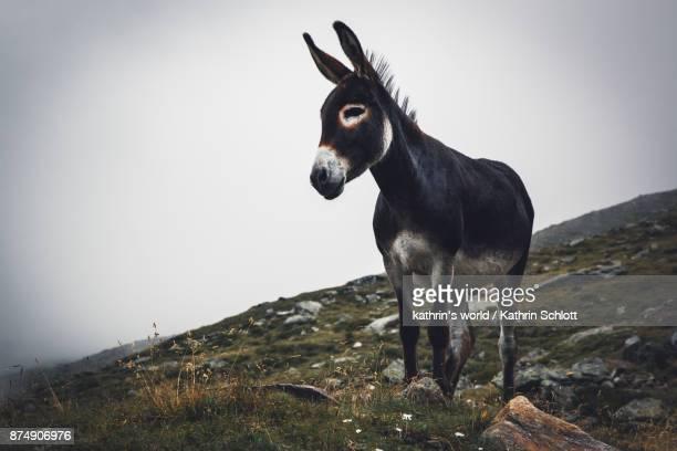 alpine donkey - donkey stock pictures, royalty-free photos & images
