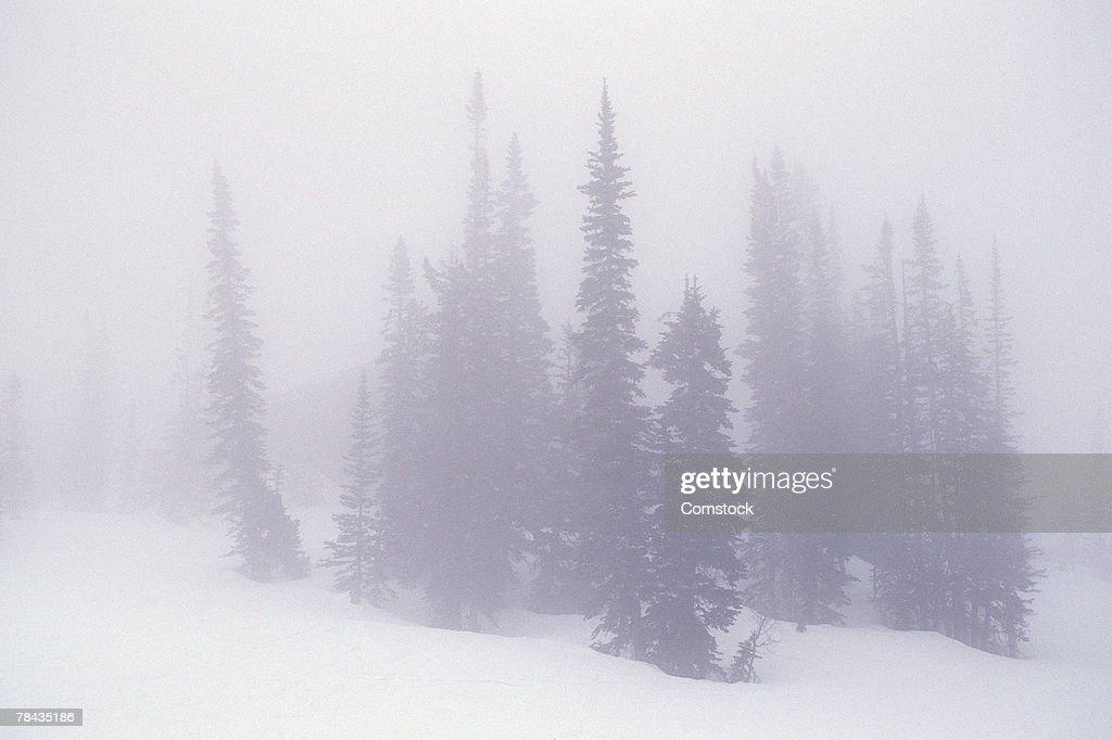 Alpine evergreen trees in winter fog : Stockfoto