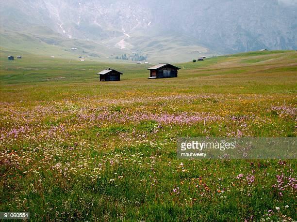 Alpine flowery meadow
