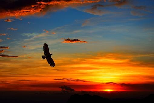 Alpine flying eagle in sunset 1141385196
