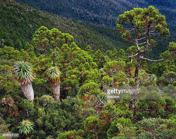 Alpine forest in a World Heritage Area Southwest National Park Tasmania Australia