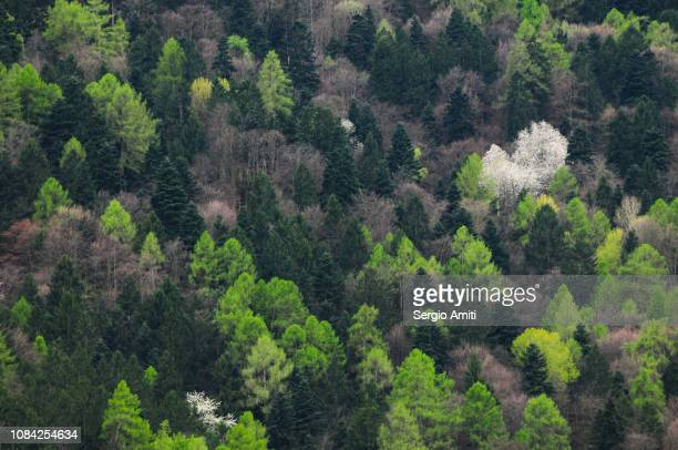 Alpine forest trees
