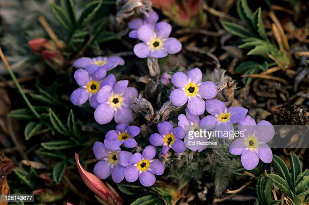 Alpine Forget-Me-Not, Eritrichium aretiodes, found in alpine tundras, circumpolar in arctic regions and Rocky Mountains