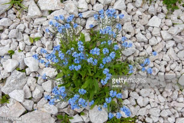 Alpine forgetmenot in flower in summer