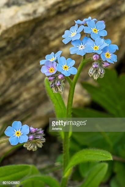 Alpine Forgetmenot in flower in the Alps