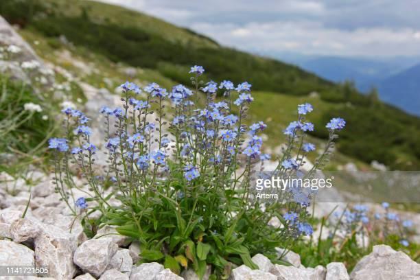 Alpine forgetmenot in flower on mountain slope Hohe Tauern National Park Austrian Alps Carinthia Austria