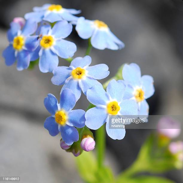 alpine forget-me-nots, Myosotis alpestris, flowers