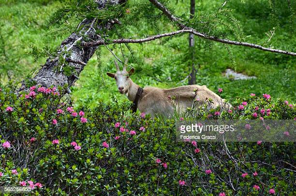 60 top domestic goat pictures photos images getty images for Domestica in svizzera