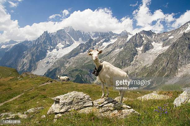 Alpine goat with mont blanc