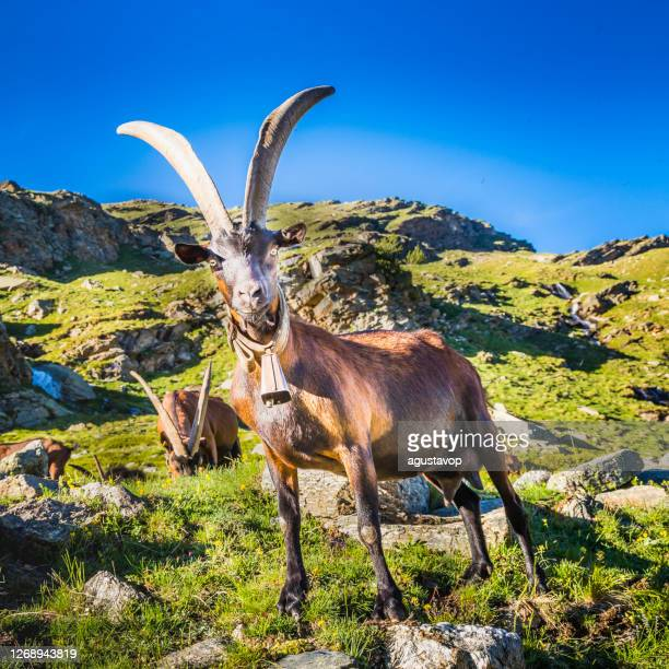 alpine goats in dramatic italian alps landscape – gran paradiso, italy - goatee stock pictures, royalty-free photos & images