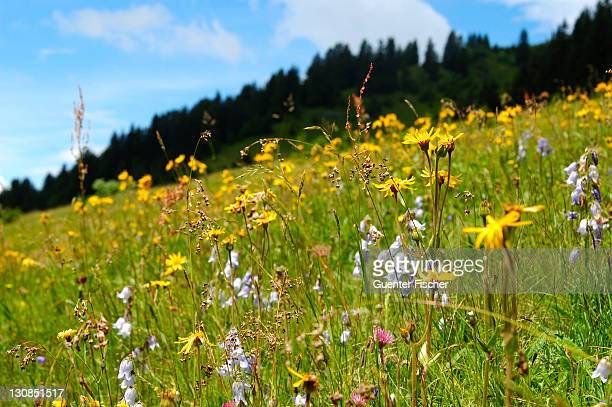 Alpine grassland with Mountain Arnica Arnica montana