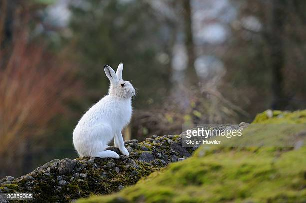 alpine hare (lepus timidus varronis) in its winter pelage - vista lateral stock pictures, royalty-free photos & images