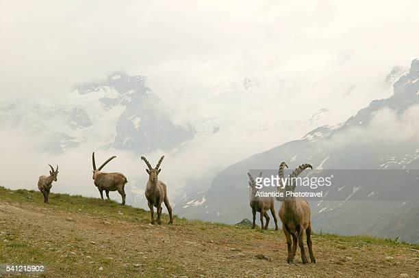 Alpine Ibex Called Stambecchi on Monte Rosa