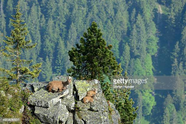 Alpine Ibex -Capra ibex-, adult and two young animals lying on rock slab, Bernese Oberland, Canton of Bern, Switzerland