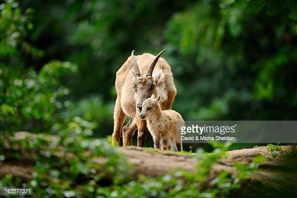 Alpine ibex, Capra ibex, and young deer, Bavaria, Germany, Europe