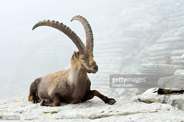 Alpine Ibex -Capra ibex-, Canton of St. Gallen, Switzerland