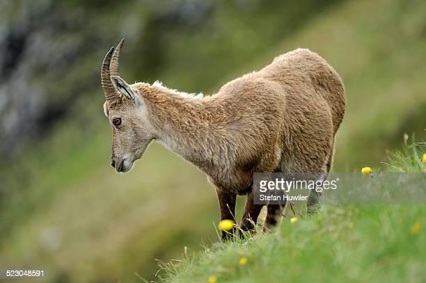 Alpine Ibex -Capra ibex-, female, standing in meadow, Niederhorn, Bernese Oberland, Switzerland, Europe
