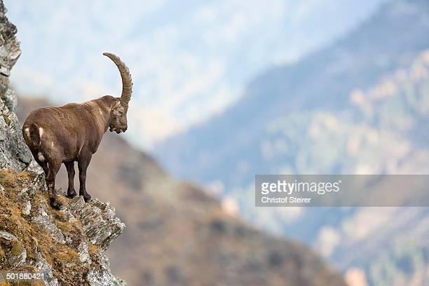 Alpine Ibex -Capra ibex-, Oberbergtal Valley, Stubai Valley, Tyrol, Austria