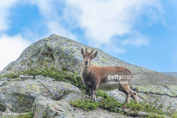 Alpine Ibex -Capra ibex- on a rock, Mont Blanc, France